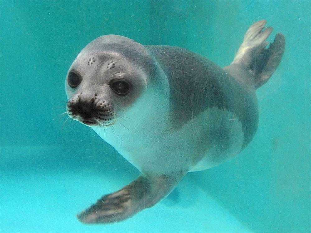 Ribbon Seal   おたる水族館