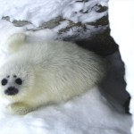 Ringed Seal pup (2008)