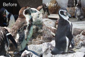 ペンギン換羽
